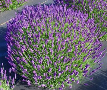 Plants, Herbs, Lavender 'Mungstead'