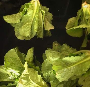 French crisp lettuce