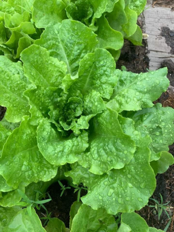 Buttercrunch head lettuce Organic