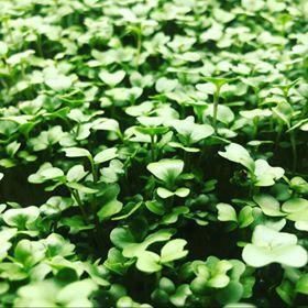 Broccoli Micro Greens