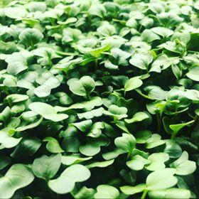 Radish Micro Greens