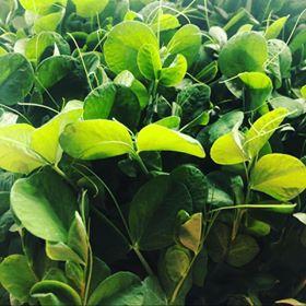 Pea Micro Greens
