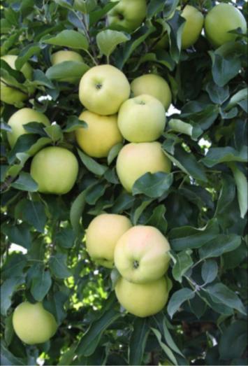 Jona Gold Apples 1 bushel