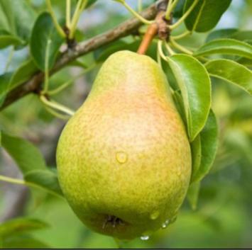 Bosc Pears 1 Peck