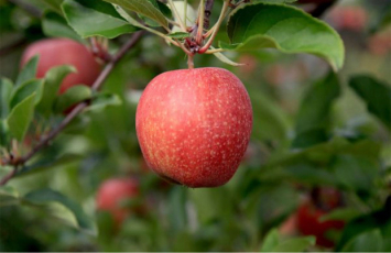 Gala Apples 1 Peck