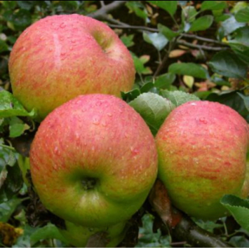 Northern Spie Apples 1 Peck