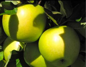 Mutsu Apples 1 Peck