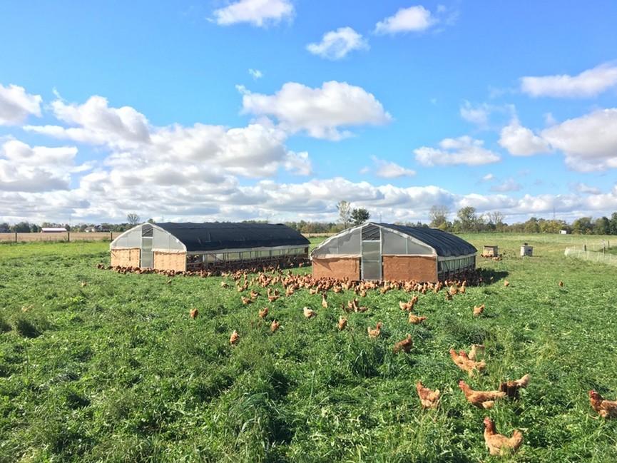hens-on-pasture.jpg