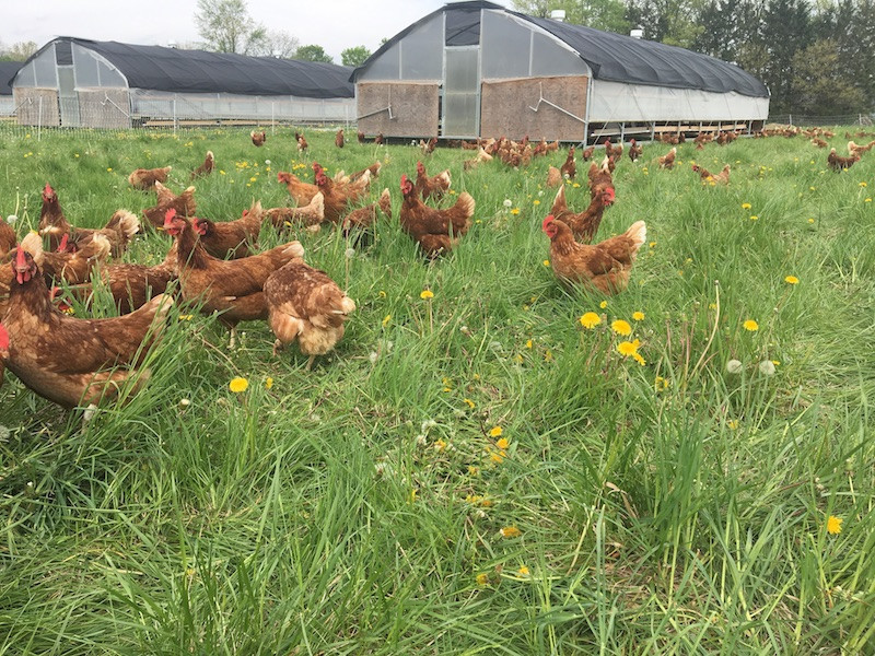 7-hens-out-to-pasture.JPG