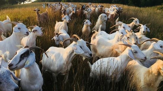 Goats Hard at Work!