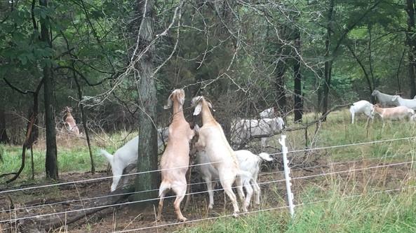 goat-grazing-2.jpg