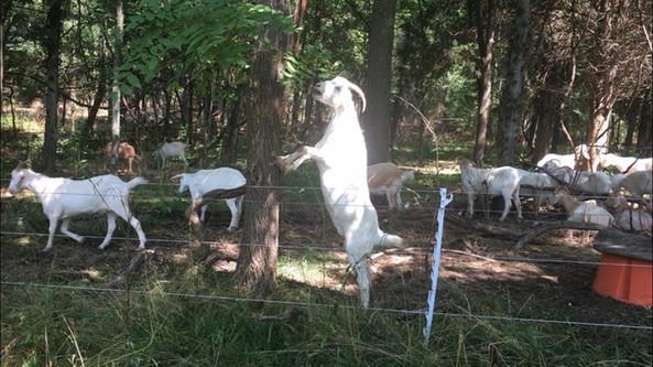 goat-grazing-1.jpg
