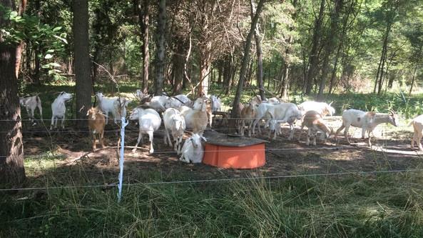 goat-grazing-3.jpg