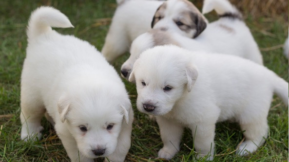 Puppies-Arrive-At-Seven-Sons-4.jpg