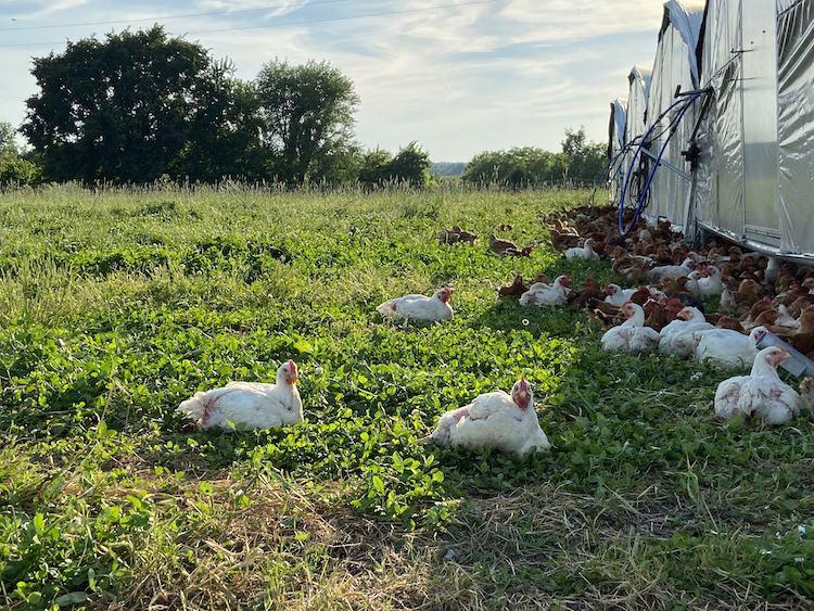 pasture-raised-chicken-3.jpg