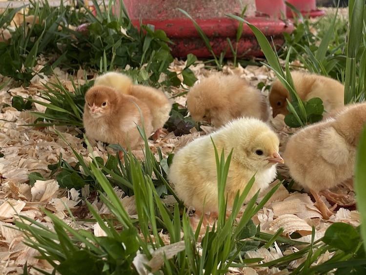 pasture-raised-chicken-4.jpg