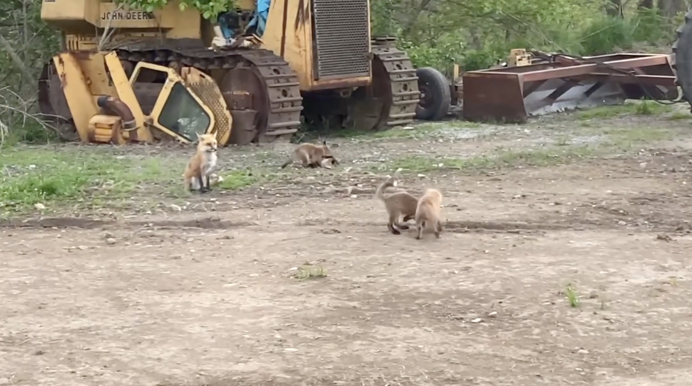 farm-life-show-foxes.png