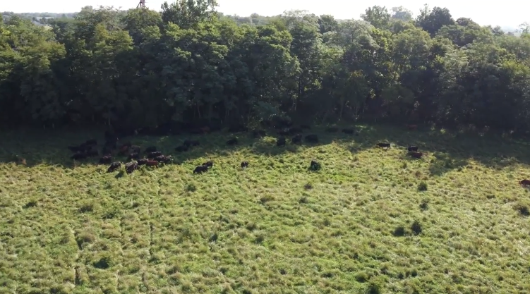 seven-sons-graZing-cows-picture.png
