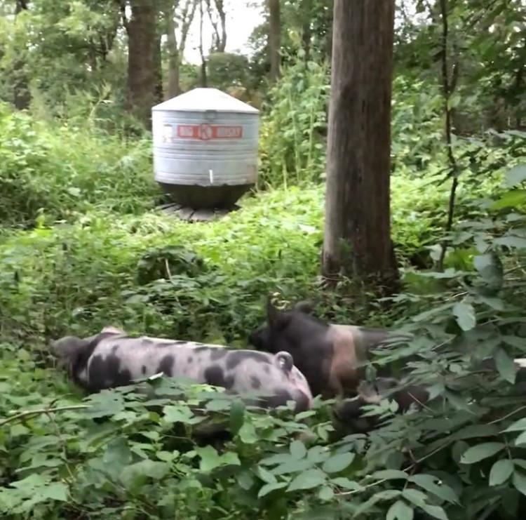 2020 Pre-Order Whole Hog