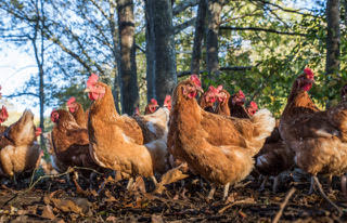 Ready to lay Pullets/ Laying Hens