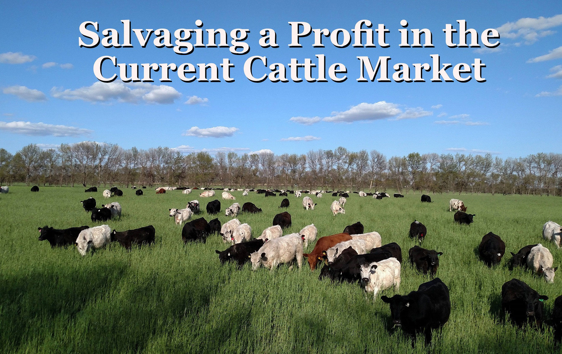 Salvaging a Profit in the Current Cattle Market