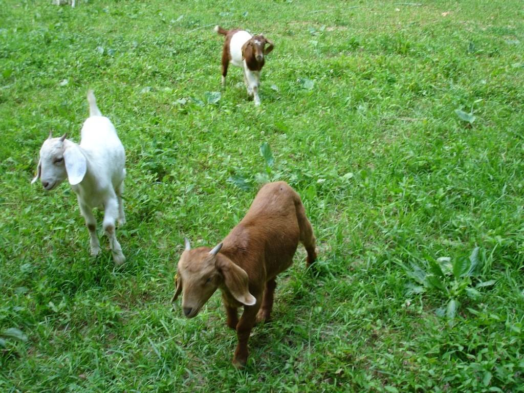 Goat Kidney