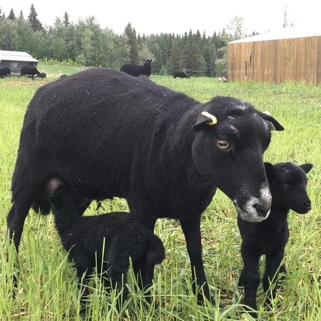 Grassfed Lamb/Hogget