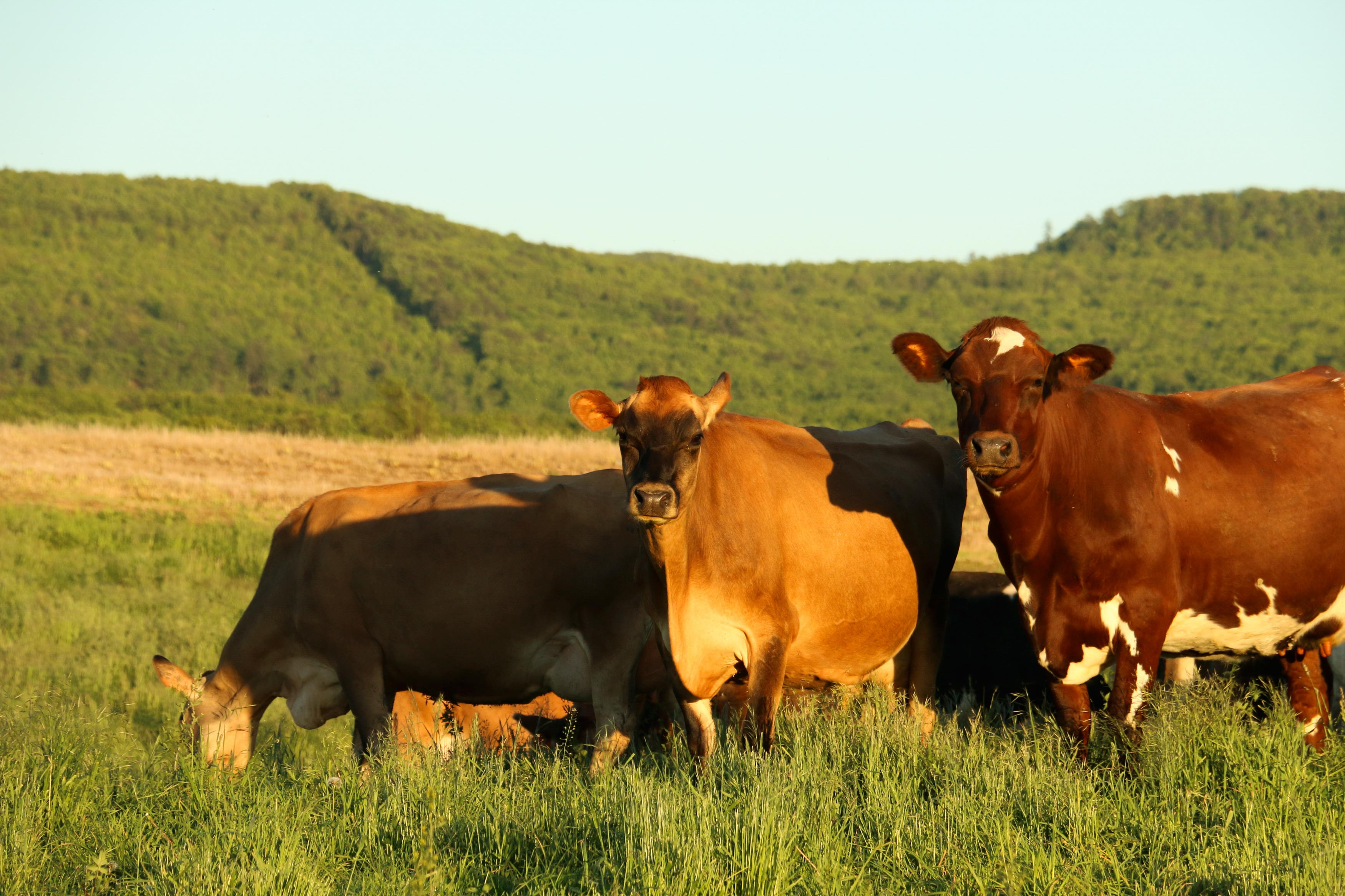 Grass-fed, Jersey cows enjoying their pasture