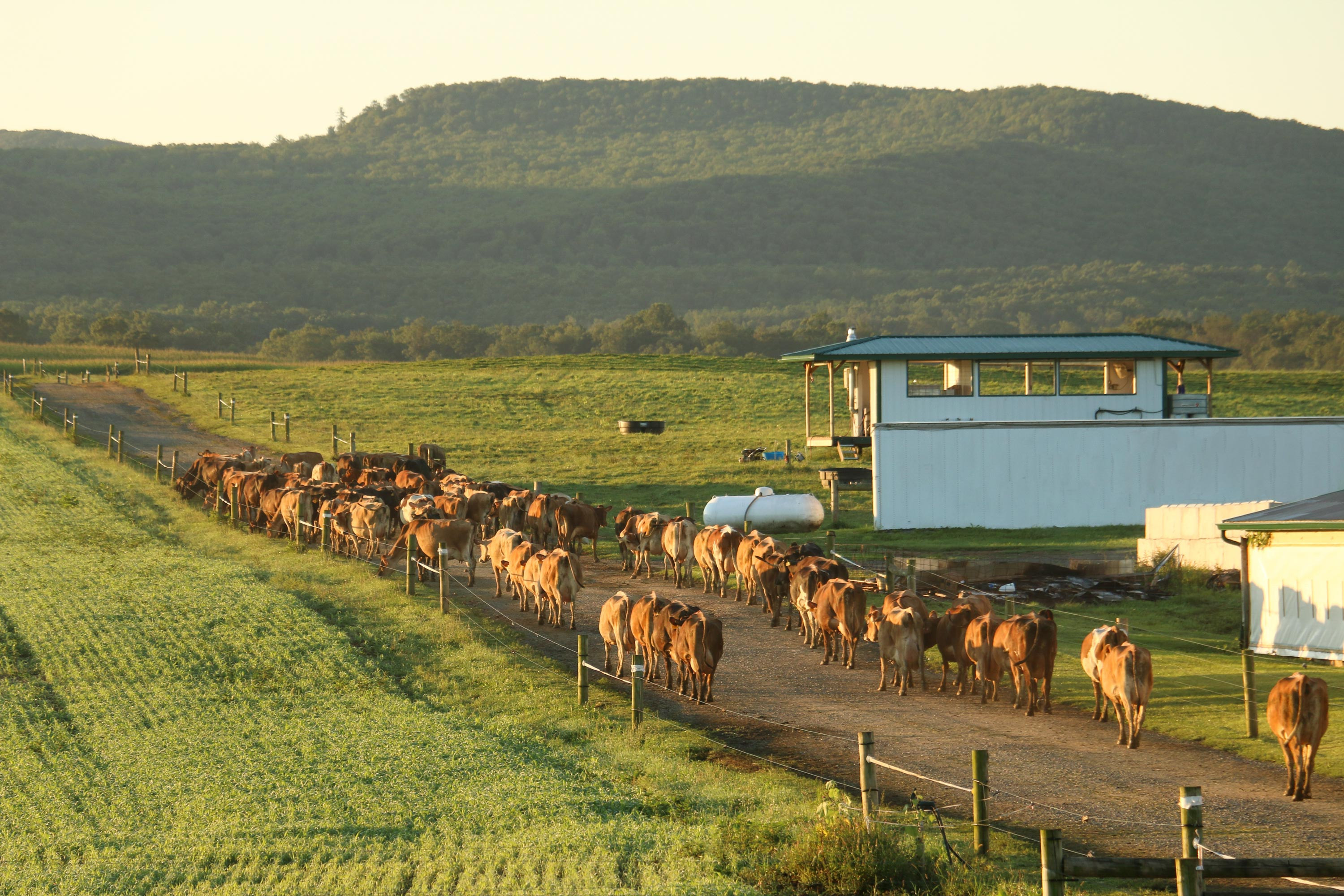Organic, Grass-fed, Jersey cows headed out to pasture