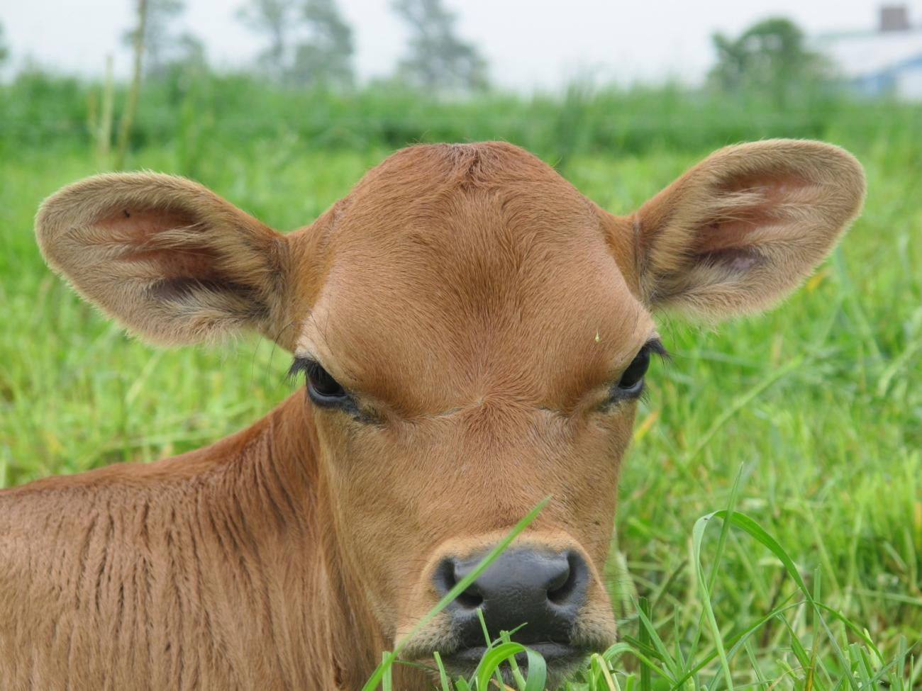 Jersey calf lying in the pasture