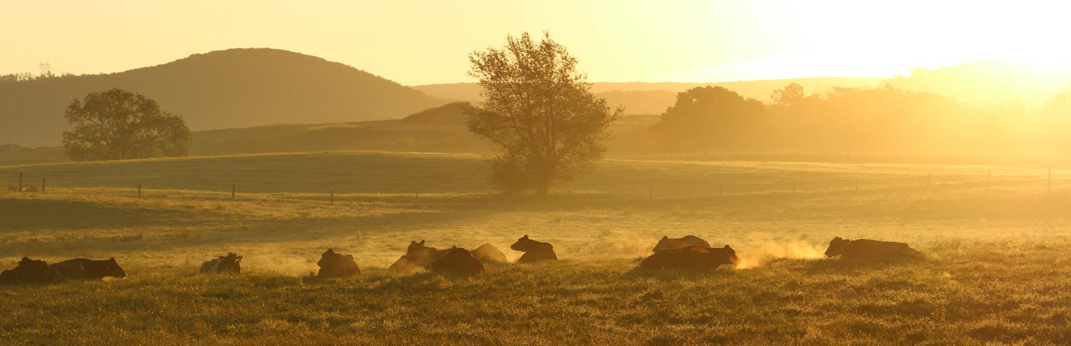 Family Cow cows in the early morning pasture...
