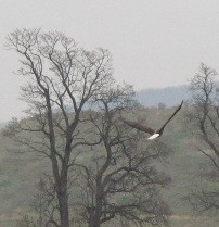 American Bald Eagle swooping down with their breath-taking 7 foot wingspans upon our flocks of pastured hens.