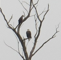 Some of our Bald Eagles sitting in a tree overlooking our pasture.