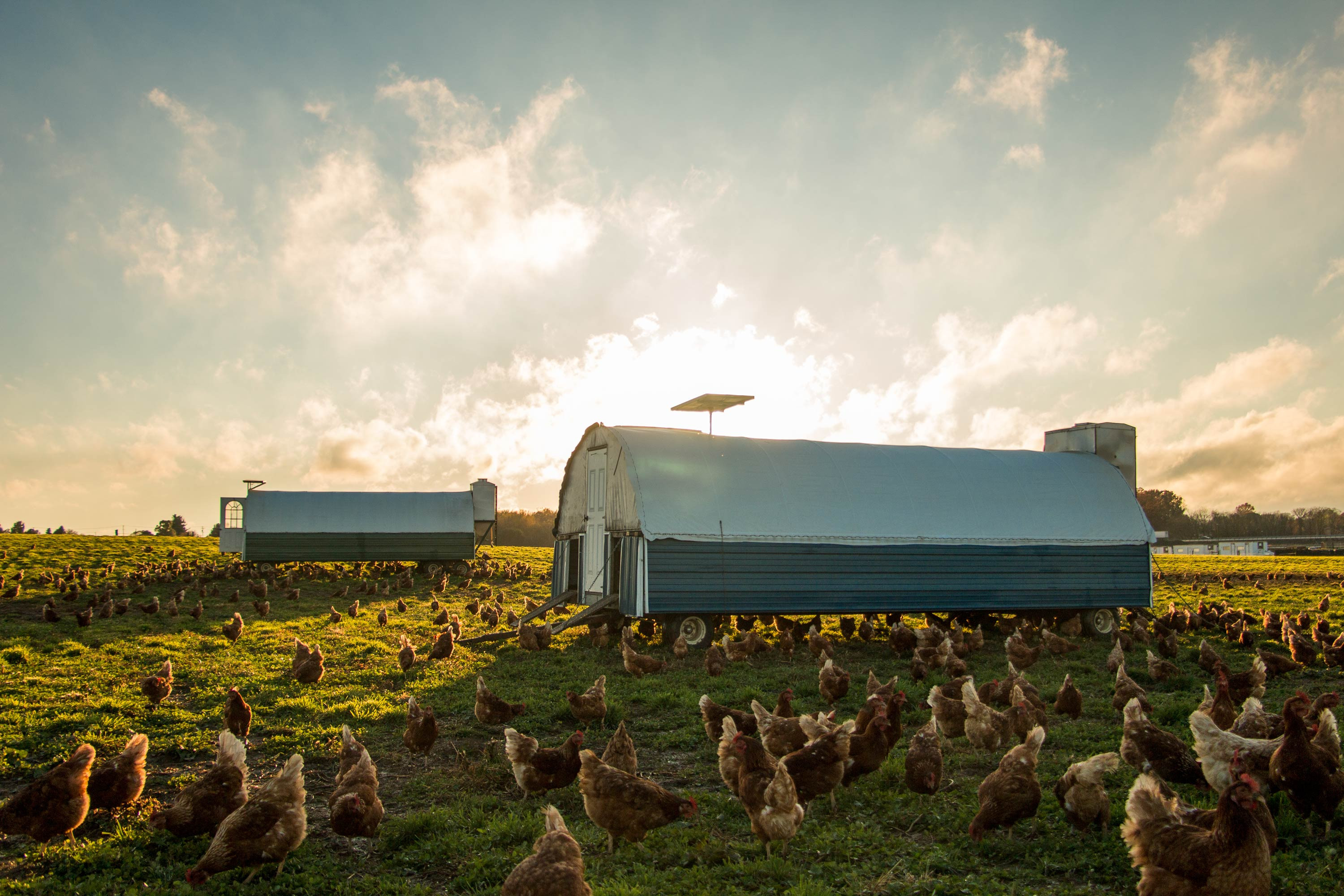 Soy-free truly pastured layer hens foraging on organic pastures!