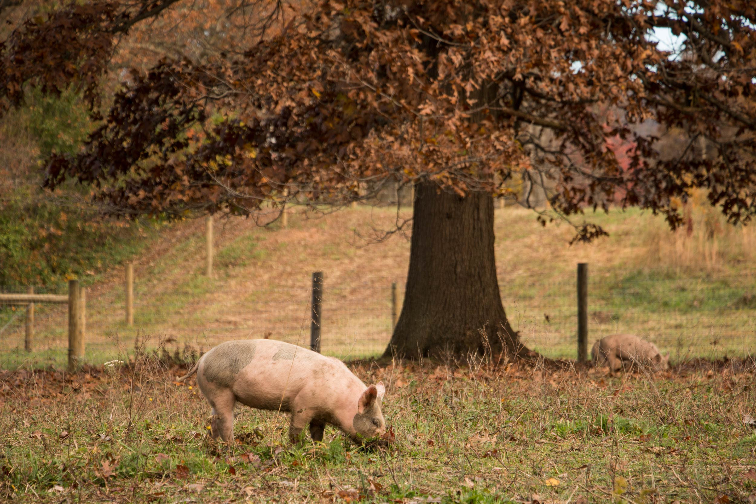 Our woodland and pastured raised pigs enjoy digging for acorns in the fall!