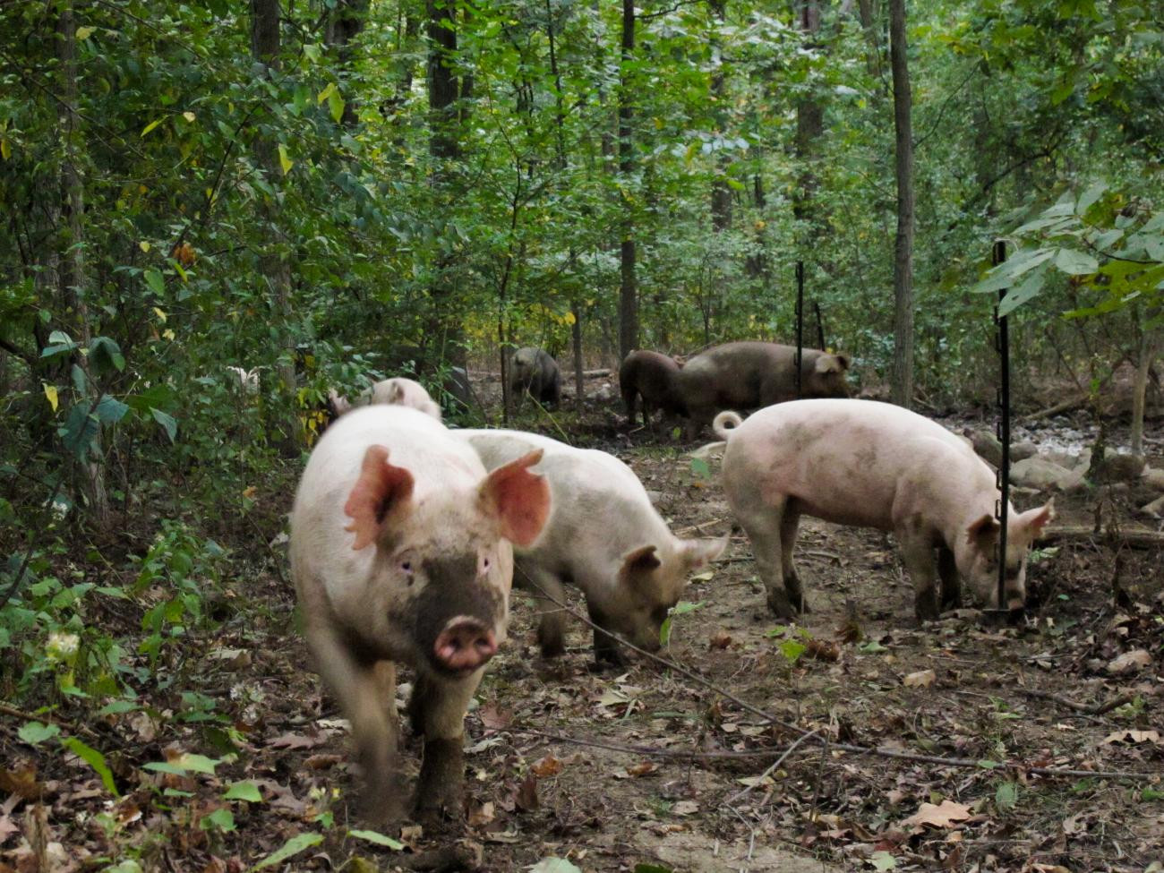 The ground on a woodland pig's nose is his happiness meter. This pig probably thinks he's in heaven! :)