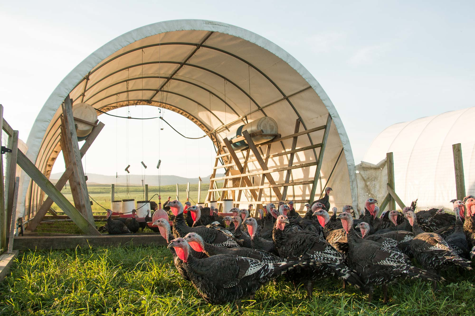Soy-free heritage turkeys out on organic pastures.