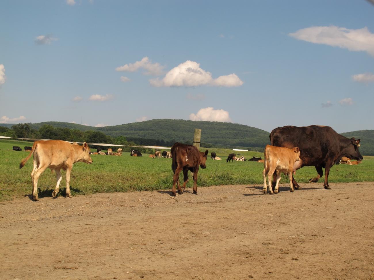 calves-17.jpg