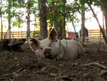 Woodland-Pigs.jpg