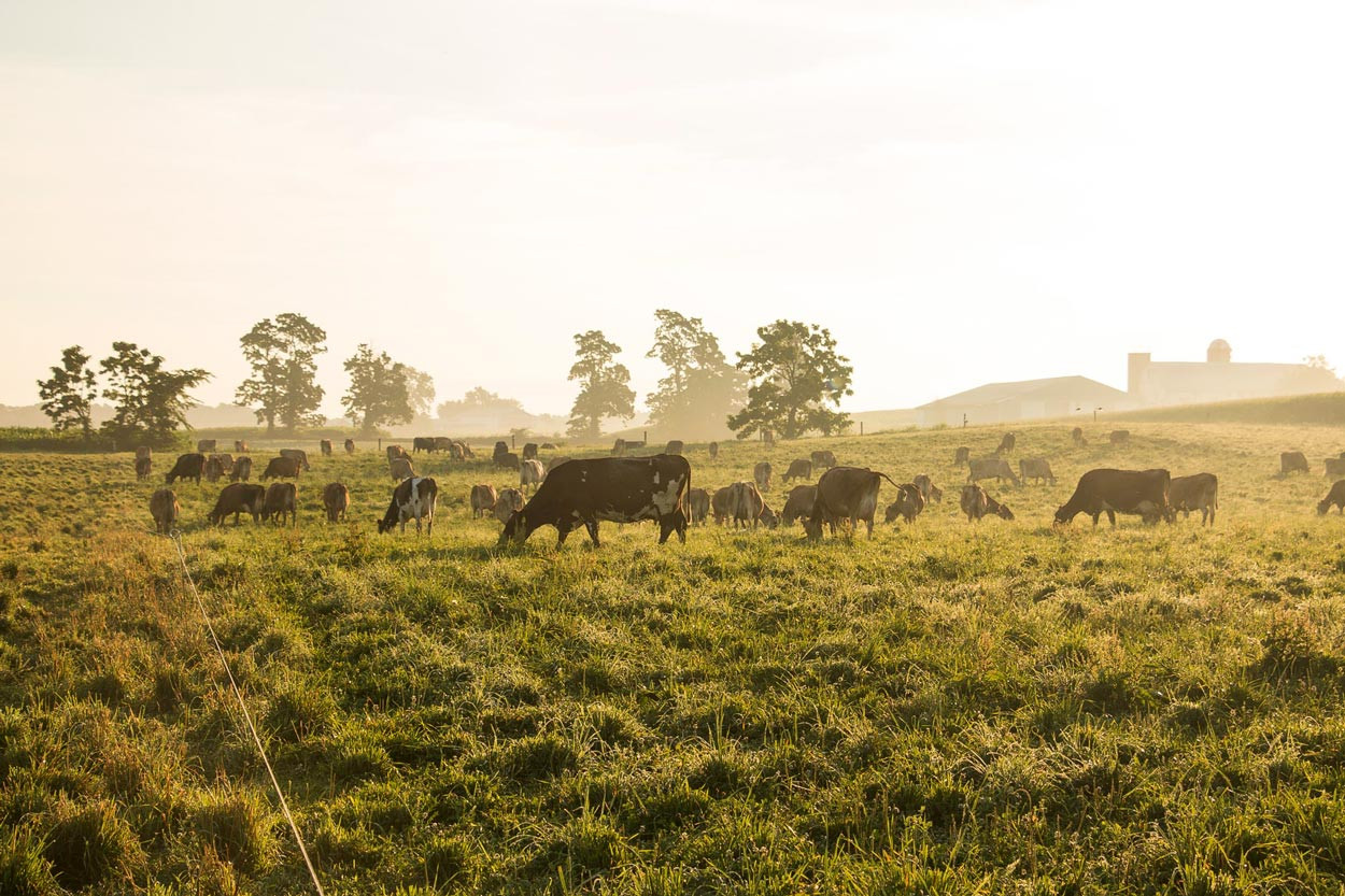 Herd-of-Jersey-Cows-Grazing-in-morning-pasture.jpg