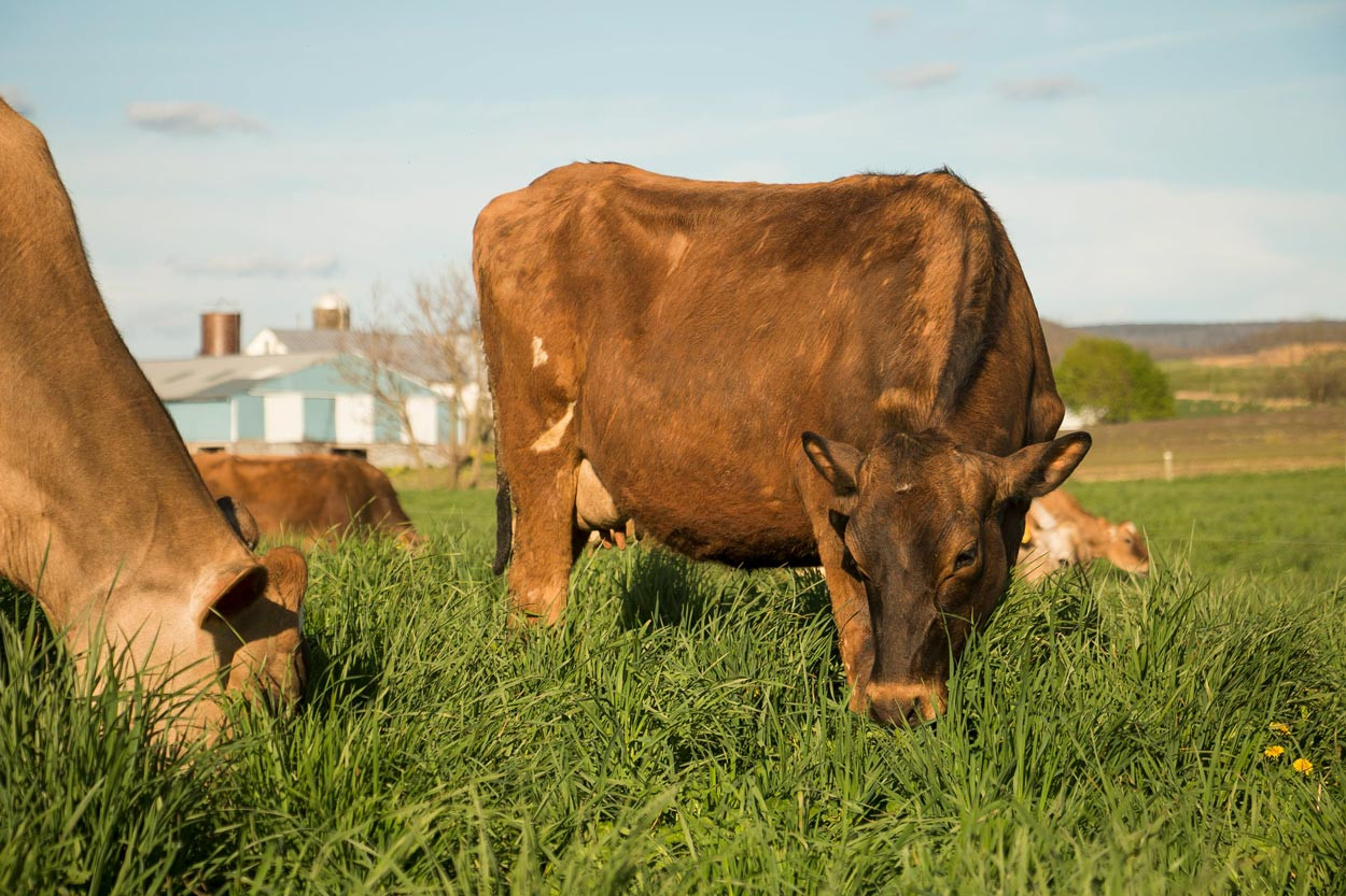 Jersey-Cows-Grazing-in-lush-spring-pasture.jpg
