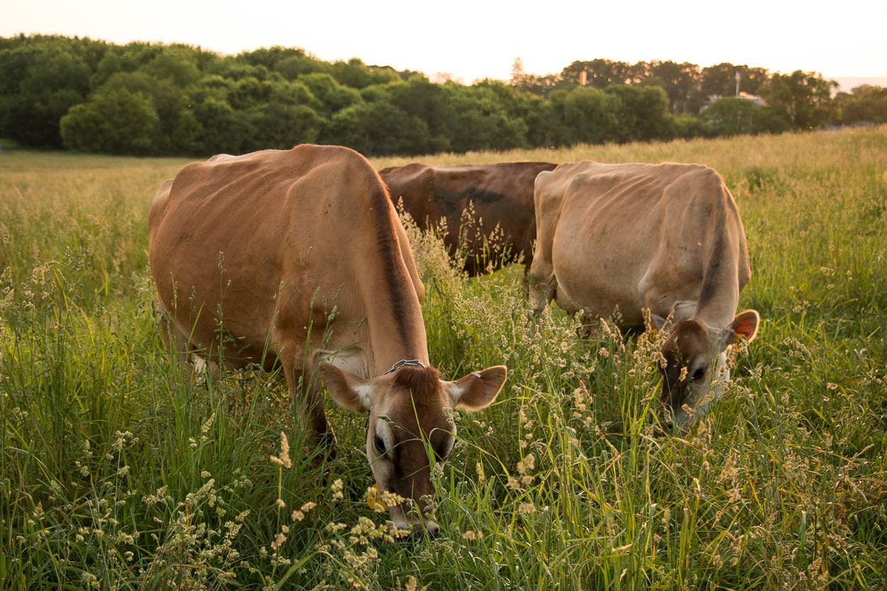 Three-Jersey-Cows-grazing-in-tall-evening-pasture.jpg