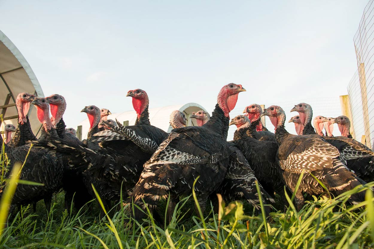 Flock-Bronze-Turkeys-on-pasture.jpg