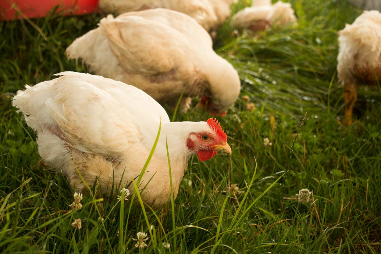 Broiler-Chickens-eating-fresh-grass.jpg