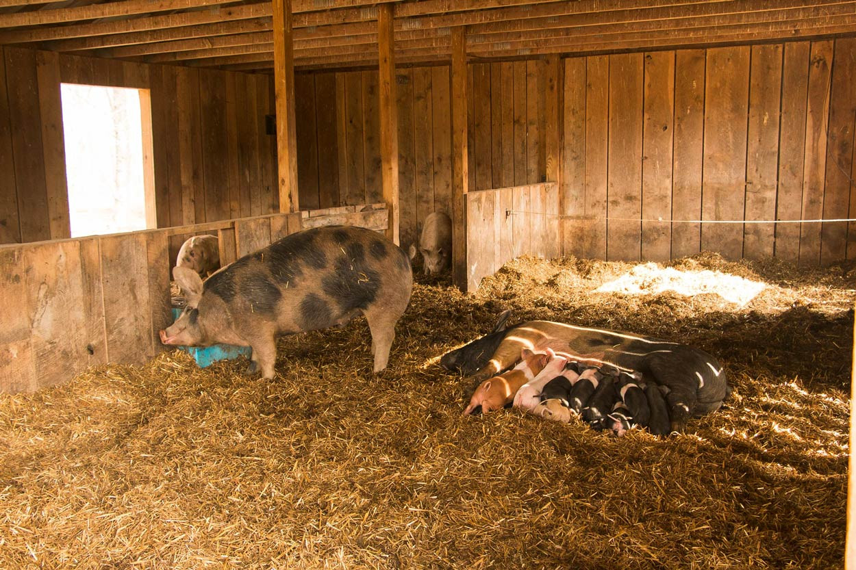 Woodland-Pig-babies-laying-in-straw-getting-their-daily-raw-milk.jpg