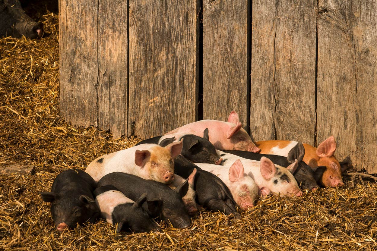 Cute-piglets-sleeping-in-a-heap-in-the-sunshine.jpg