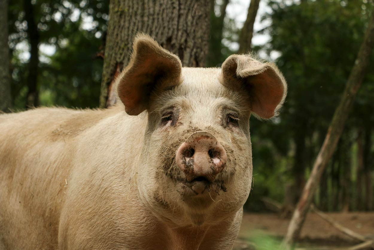 Woodland-Pig-nose-to-camera.jpg