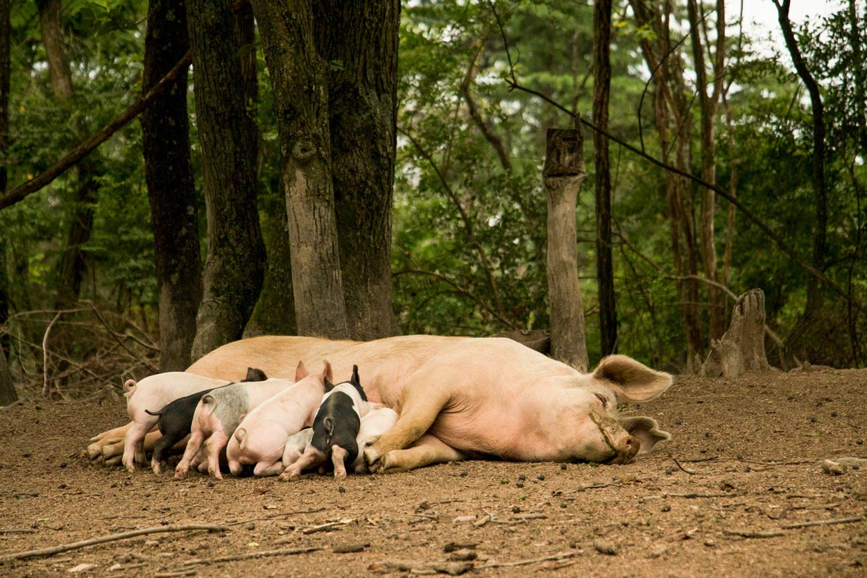 Woodland-Pig-babies-getting-their-daily-raw-milk.jpg