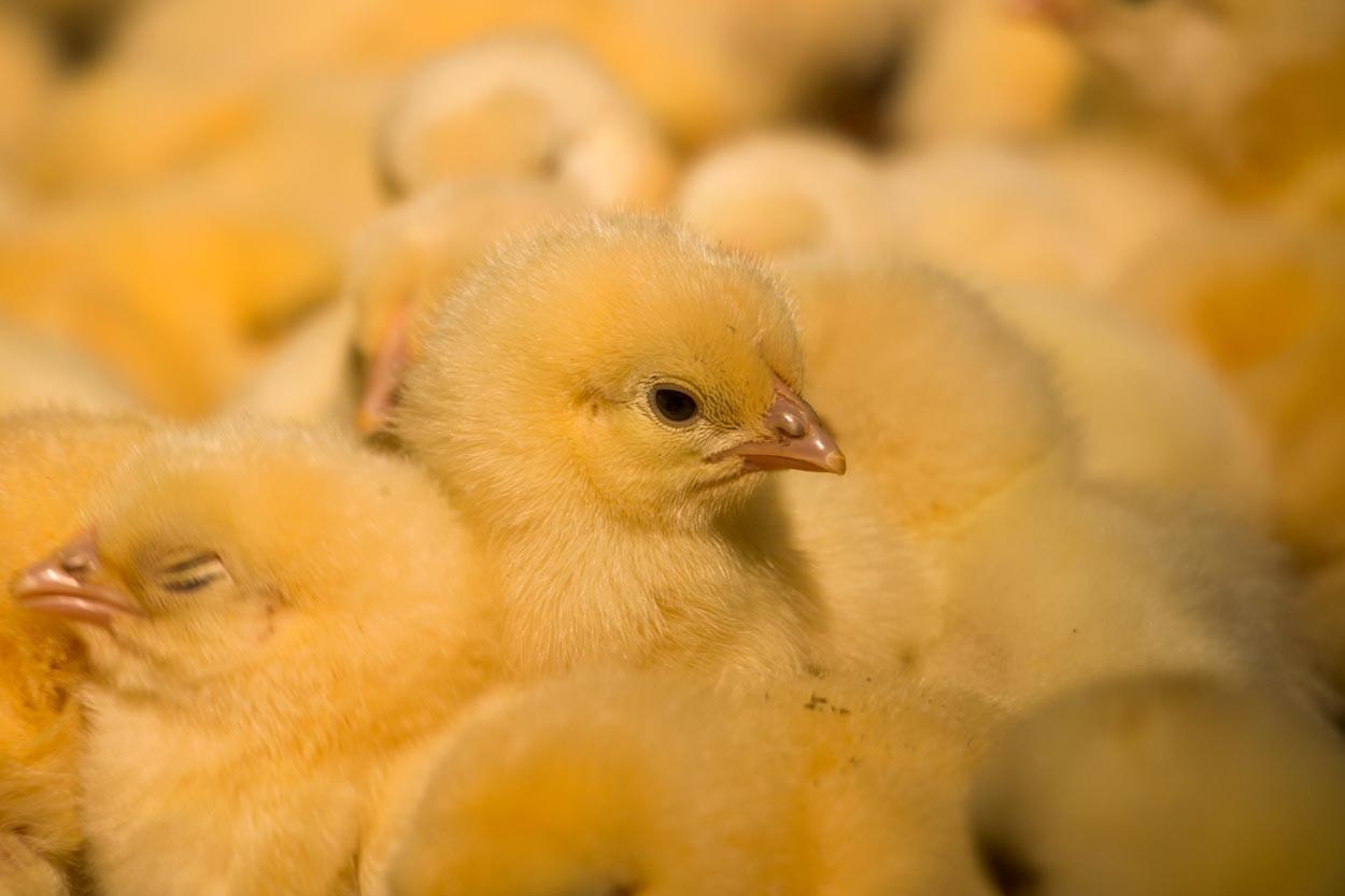 Baby-Chicks.jpg