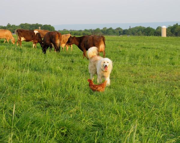 Our-chicken-gaurd-dog-Tashua-comes-to-say-good-morning-too!.jpg